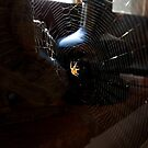 Brown spider by David Clarke