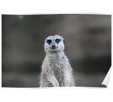 Mangoest (Suricata suricatta) eye contact Poster