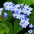 Forget me nots.......... by lynn carter