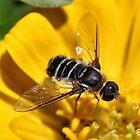 'Hover Fly on Zinnea' by Scott Bricker