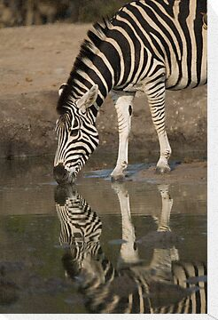Zebra reflection by Erik Schlogl