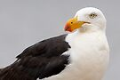 Pacific Gull by Robert Elliott
