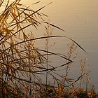 Autumn Reeds - Lake Curlew, NSW by Gregory McInnes
