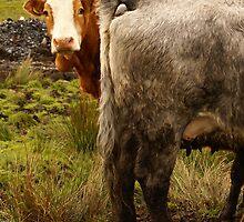 Scottish Cow by Sturmlechner