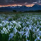 Wild Iris and Sierra Sunset by Nolan Nitschke