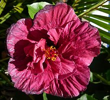 Hibisco (I) by Lobodomar