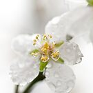 Almond blossoms by Ilva Beretta