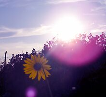 Shining Sunflower by R&PChristianDesign &Photography