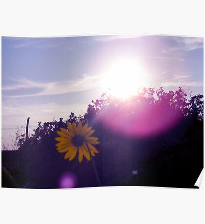Shining Sunflower Poster