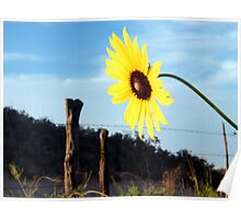 Western Style Sunflower Poster