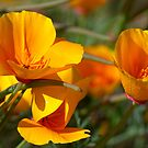 Last Drops - (Eschscholzia californica) by Leroy Laverman