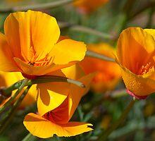 Last Drops - (Eschscholzia californica) by Leroy Laverman