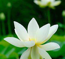 white lotus flower by patrick pichard