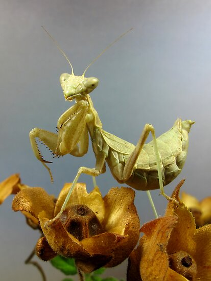 Mantis by jimmy hoffman