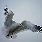 """""""cuddly gull"""" by NordicBlackbird"""