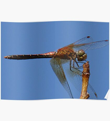 Dragon on Blue Poster