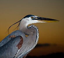 Great Blue Heron Portrait by Jonicool