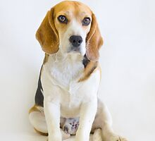The Judge - Animal Rescue Beagle Portrait by AndreaBorden