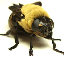 Botfly (Oestridae)  by main1