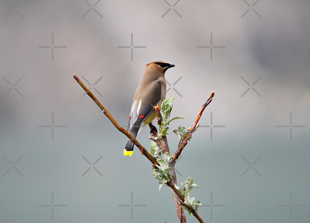 Bohemian Waxwing by Vickie Emms