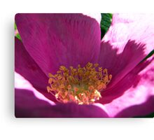 Beach Rose Up Close Canvas Print