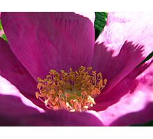 Beach Rose Up Close Photographic Print