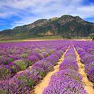 Lavender Fields by Gene Praag