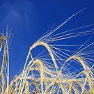 Golden Wheat by naffarts