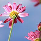 Pink Daisie by naffarts