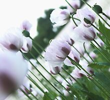 Purple and White Poppies by naffarts