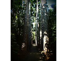 Kauri Avenue - Paronella Park Photographic Print