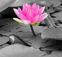 pink water lily  by patrick pichard