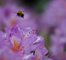 Bee Pollinating Lavender by TimbosPics