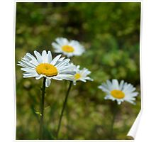 A World of Daisies Poster