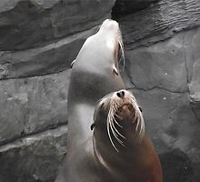 Sea Lions by ACWPhotography