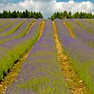 English Lavender Field by Stephen Knowles