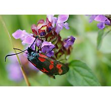 Burnet Moth Photographic Print