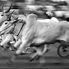 The Bullock Race by RajeevKashyap