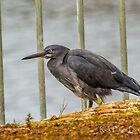 Floodgate Heron by Rick Playle