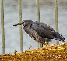 Floodgate Heron by Rick Playle