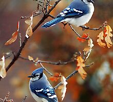 Autumn Jays by fortner