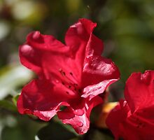 Red Rhododendron Flowers by Zosimus