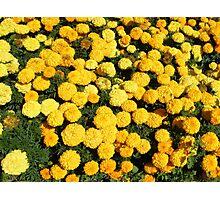 """Marigolds have beneficial factors"" Photographic Print"