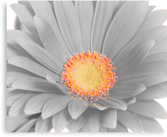 Gerbera Daisy with Yellow Center by Suz Garten