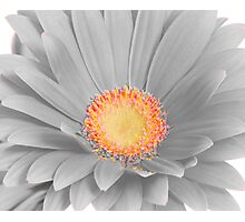 Gerbera Daisy with Yellow Center Photographic Print