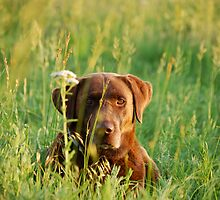 Labrador in Kansas Pasture by Suz Garten