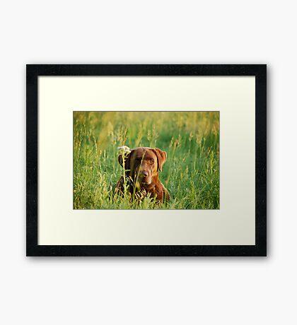 Labrador in Kansas Pasture Framed Print