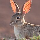 Cottontail Rabbit by psnoonan