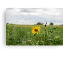 Lone Sunflower in Pasture Canvas Print