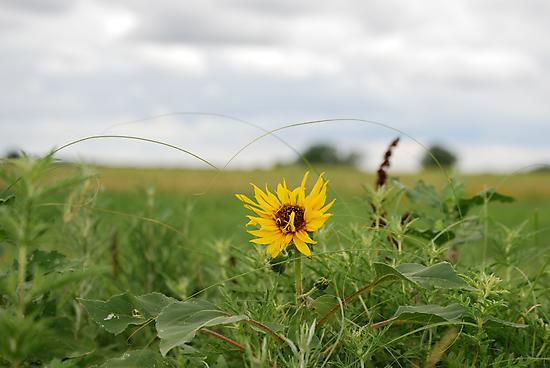 Lone Sunflower in Pasture by Suz Garten